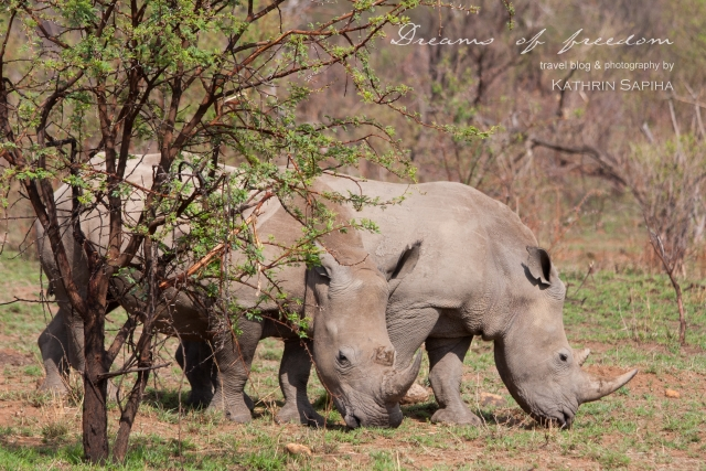 White Rhinos - South Africa - #JustOneRhino