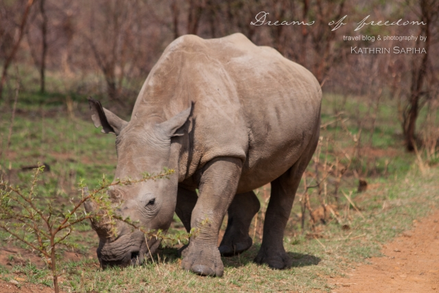White Rhino - South Africa - #JustOneRhino